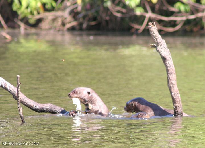 Pair of giant river otters [manu-Manu_1022_2246]