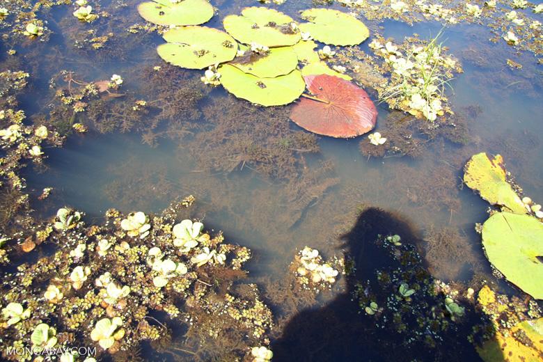Foxtail aquatic plant growing in natural habitat [manu-Manu_1022_2258]