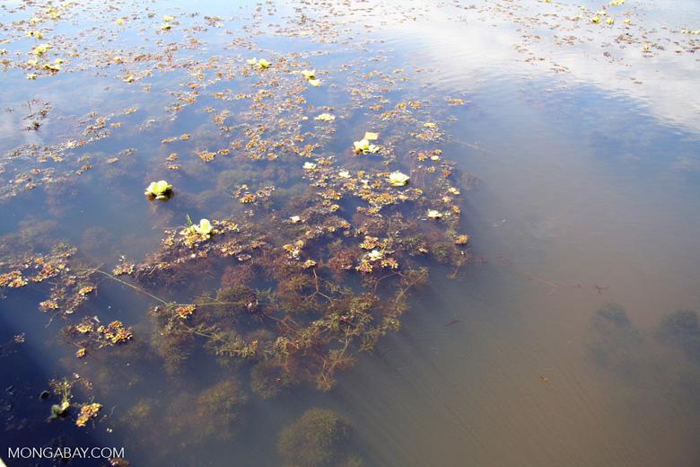 Foxtail aquatic plant growing in natural habitat [manu-Manu_1022_2261]