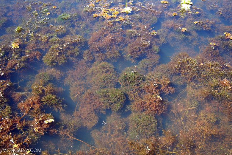 Foxtail aquatic plant growing in natural habitat [manu-Manu_1022_2263]