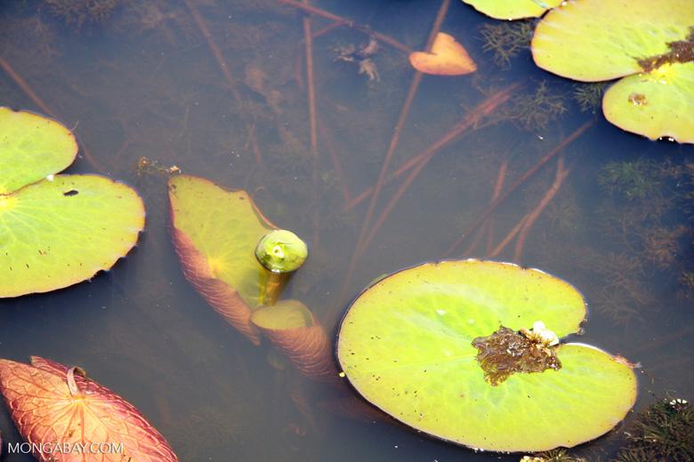 Foxtail aquatic plant and water lilies growing in natural habitat [manu-Manu_1022_2276]