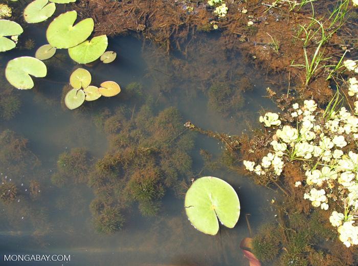 Foxtail aquatic plant growing in natural habitat
