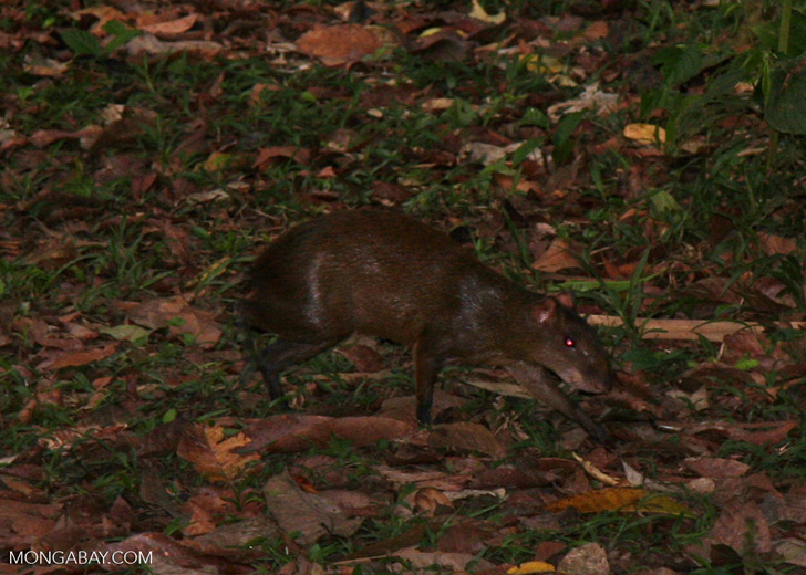 Agouti in forest clearing [manu-Manu_1023_1918]
