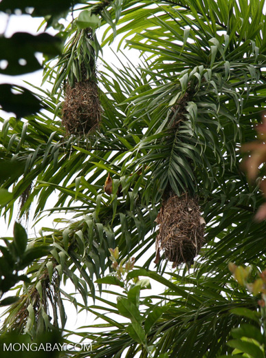 Russet-backed Oropendula (Psarocolinus angustifrons) with hanging nests