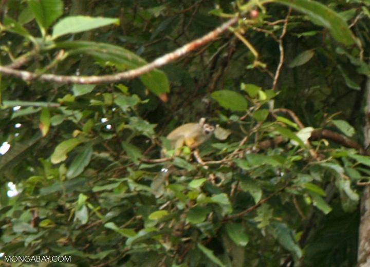 Spider monkey [manu-Manu_1023_1948]