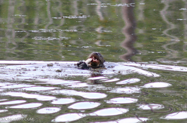 Giant River Otter feeding on fish [manu-Manu_1023_2000a]