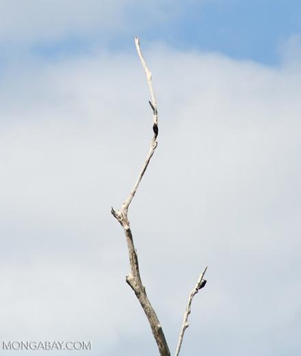 Woodpeckers on dead tree [manu-Manu_1023_2291]