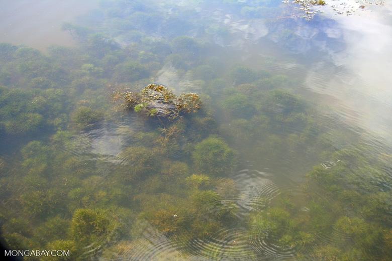 Amazon foxtail; aquatic plant; in its natural habitat