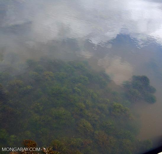 Amazon foxtail; aquatic plant; in its wild habitat