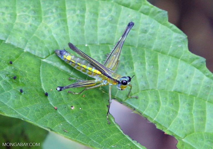 Colorful; but known grasshopper-like insect