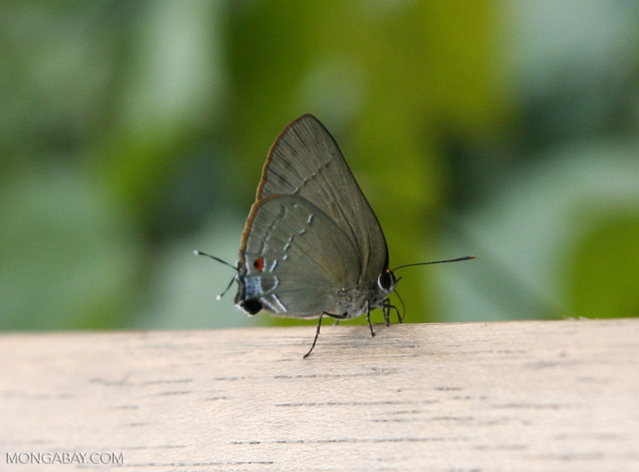 Arawacus butterfly