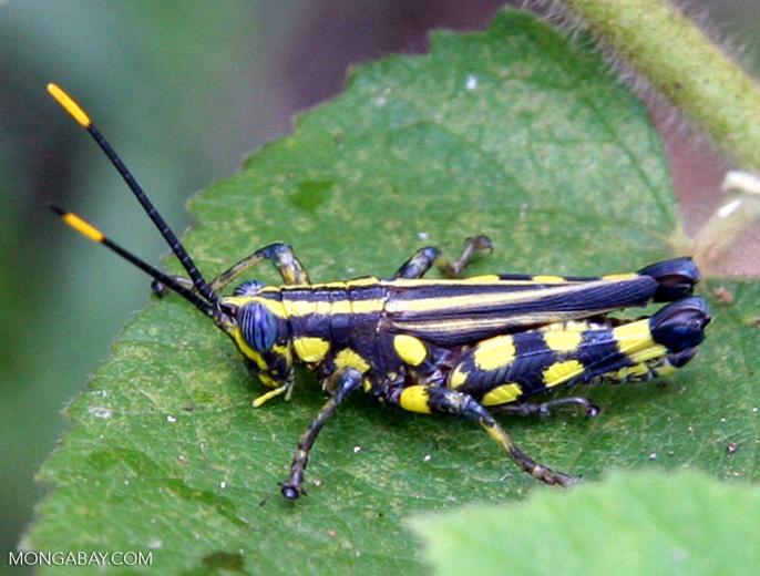 Black grasshopper with indigo blue eyes and yellow polkadots
