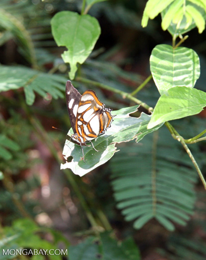Unknown butterfly with orange; brown; and white markings on outer part of the wing