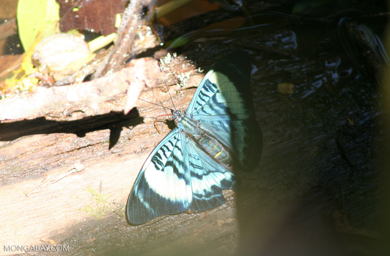 Panacea prola butterfly; wings open [manu-Manu_1023_2395a]