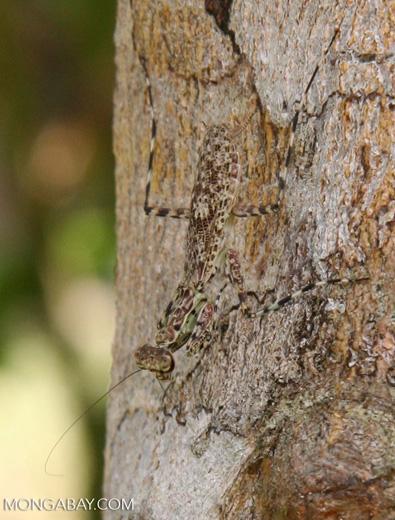 Liturgusa charpentieri or L. lichenalis praying mantis standing guard of its tree
