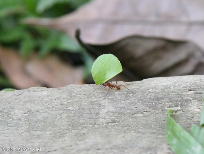 Leaf cutter ant carrying leaf