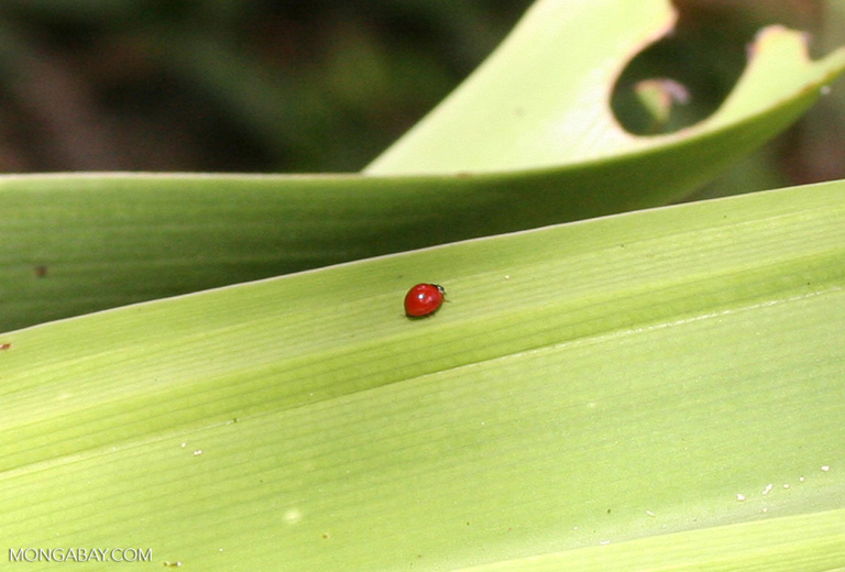 Small red beetle