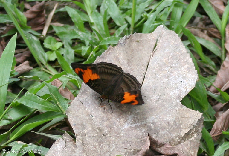 Unknown butterfly with light and dark brown patterned wings and orange on the upper wing