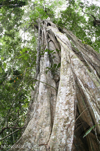 Strangler fig tree; view from forest floor to canopy
