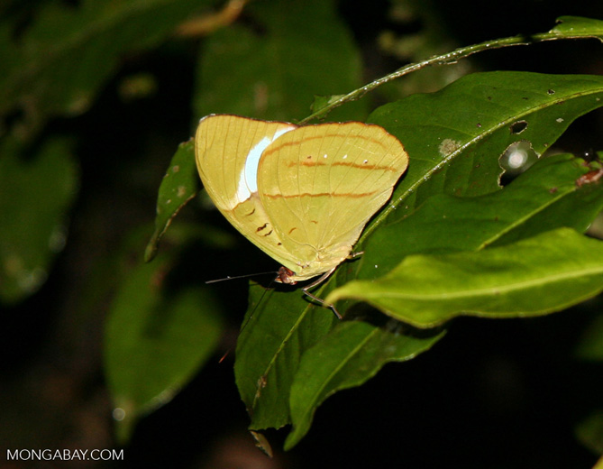 Yellow-green butterfly; possibly Nessaea obrinus with wings closed