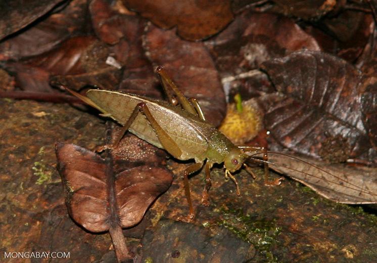 Greenish-brown katydid