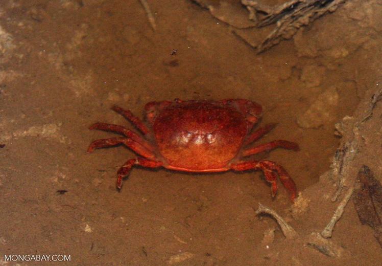 Red rainforest crab