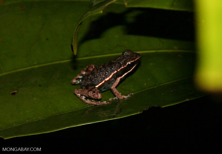 Unknown small frog (Epipedobates hahneli  ?)