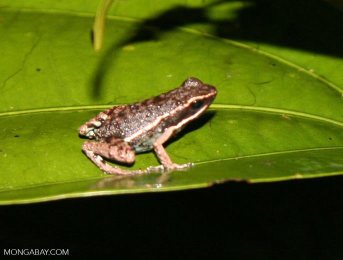 Unknown small frog (Epipedobates hahneli  ?) [manu-Manu_1023_2514]