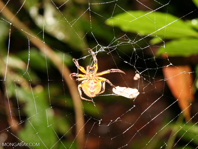 Yellow and red spider in web