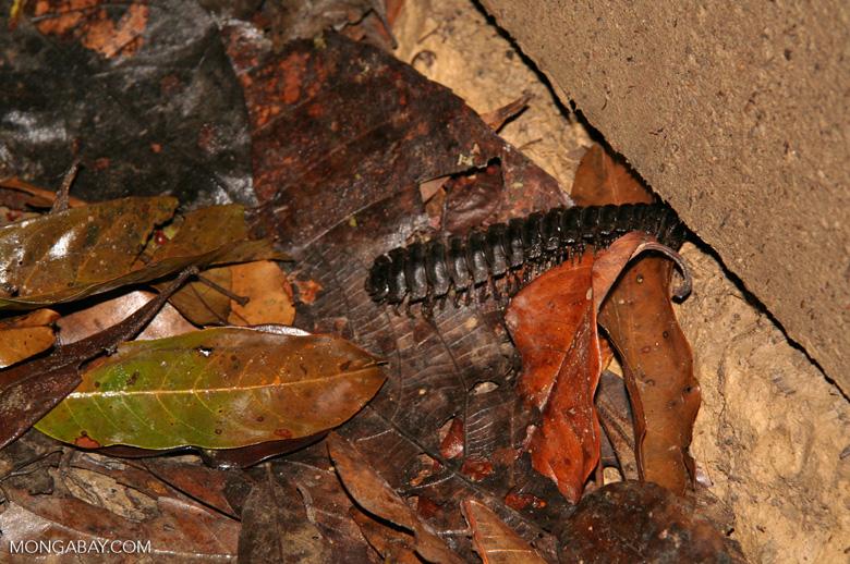 Dark brown centipede