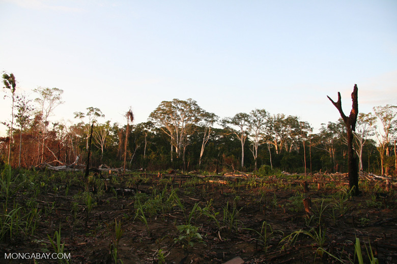 Rainforest cleared by slash-and-burn methods in the Peruvian Amazon. Photo by Rhett A. Butler