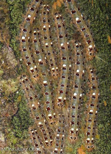 Mass of caterpillars [manu-Manu_1024_2570a]