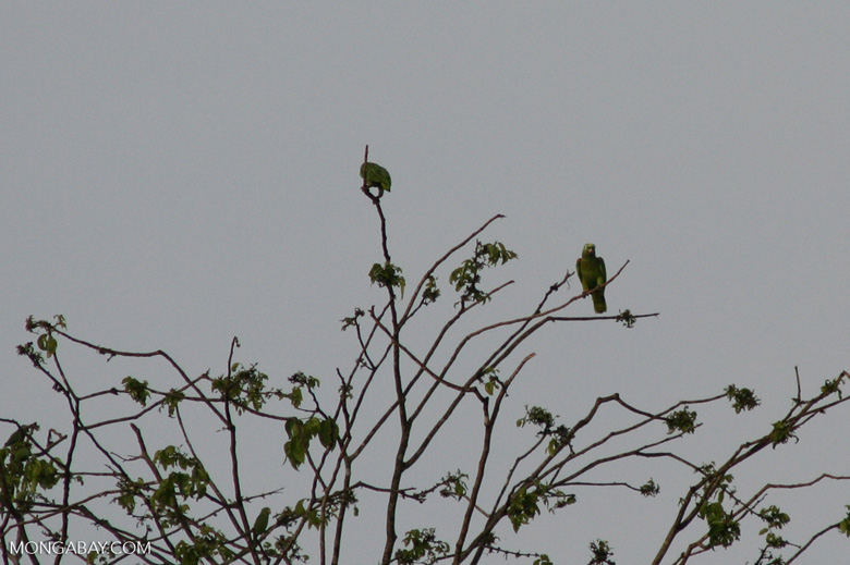 Parrots in tree [manu-Manu_1024_2585]