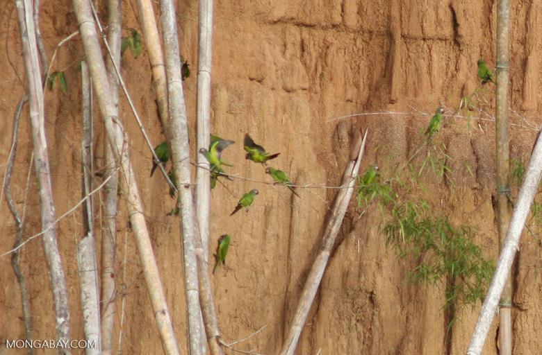 Dusky-headed parakeets (Aratinga weddellii)