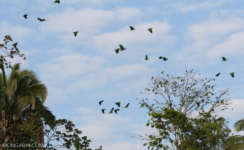 Parrots in flight