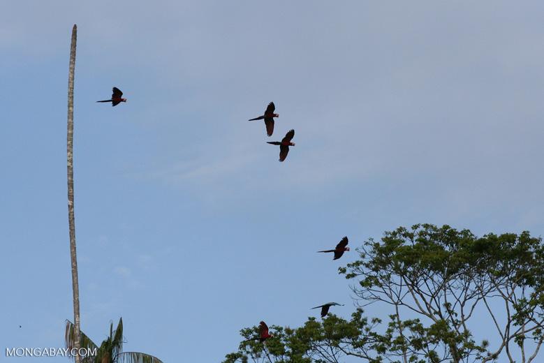 Red-and-green macaws [manu-Manu_1024_2630]