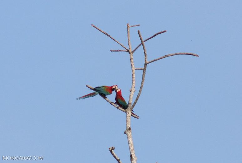 Red-and-green macaws [manu-Manu_1024_2646]