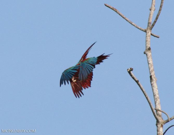 Red-and-green macaws (Ara chloroptera) in flight