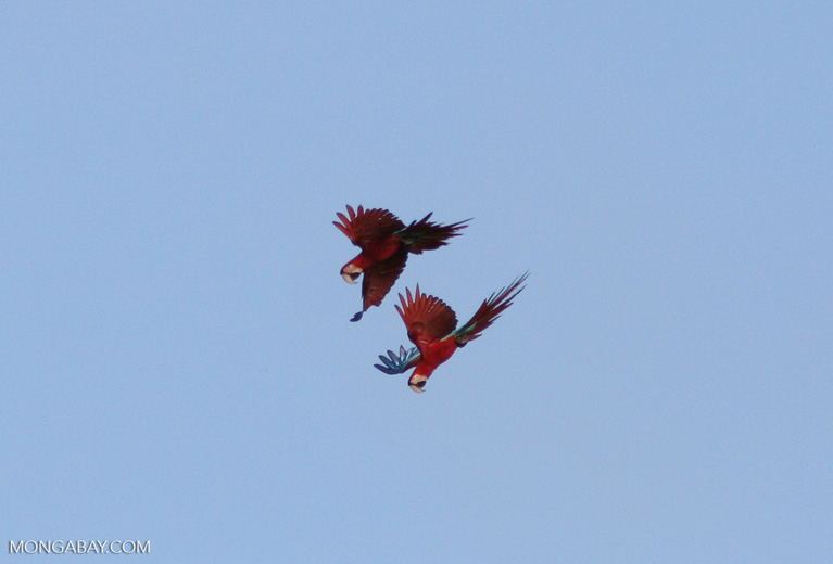 Red-and-green macaws (Ara chloroptera) in flight [manu-Manu_1024_2650]