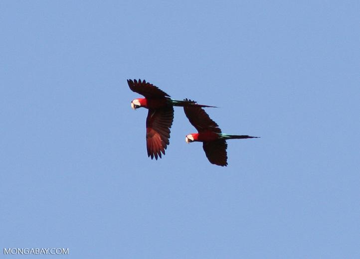 Red-and-green macaws (Ara chloroptera) in flight [manu-Manu_1024_2688]