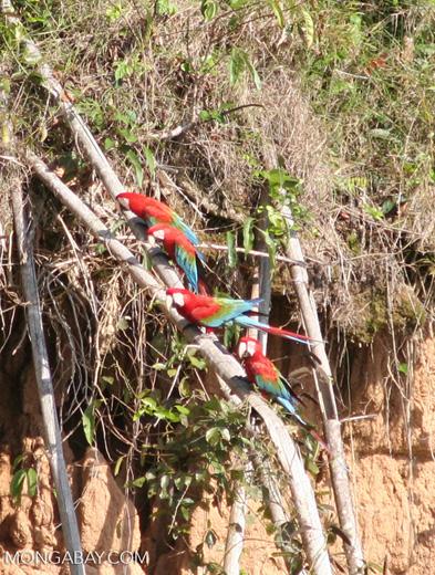 Red-and-green macaws (Ara chloroptera) [manu-Manu_1024_2769]