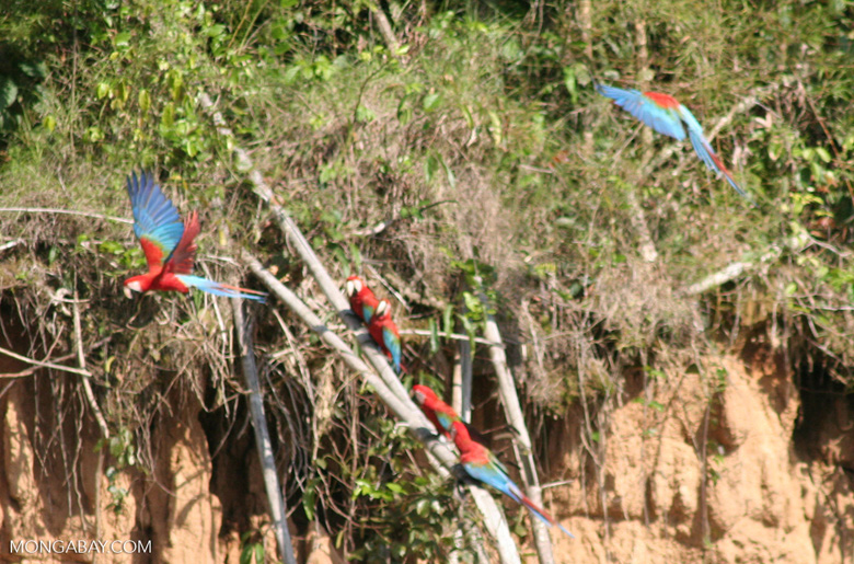 Red-and-green macaws (Ara chloroptera) [manu-Manu_1024_2771]
