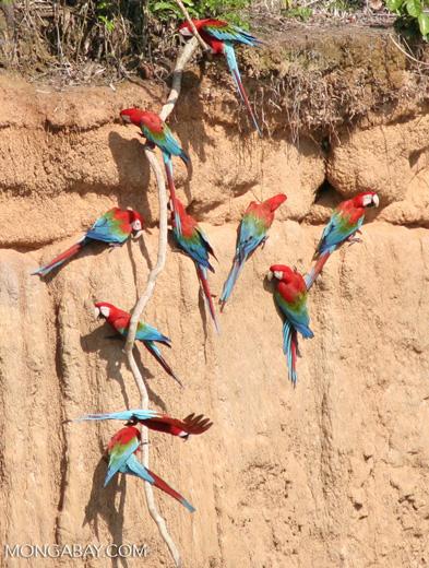 Red-and-green macaws (Ara chloroptera) [manu-Manu_1024_2803a]