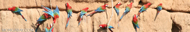 Red-and-green macaws (Ara chloroptera) [manu-Manu_1024_2808a]