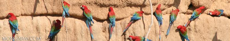 Red-and-green macaws (Ara chloroptera) [manu-Manu_1024_2809a]