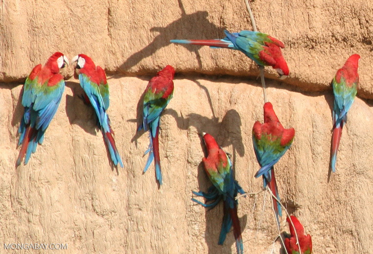 Red-and-green macaws (Ara chloroptera) [manu-Manu_1024_2815a]