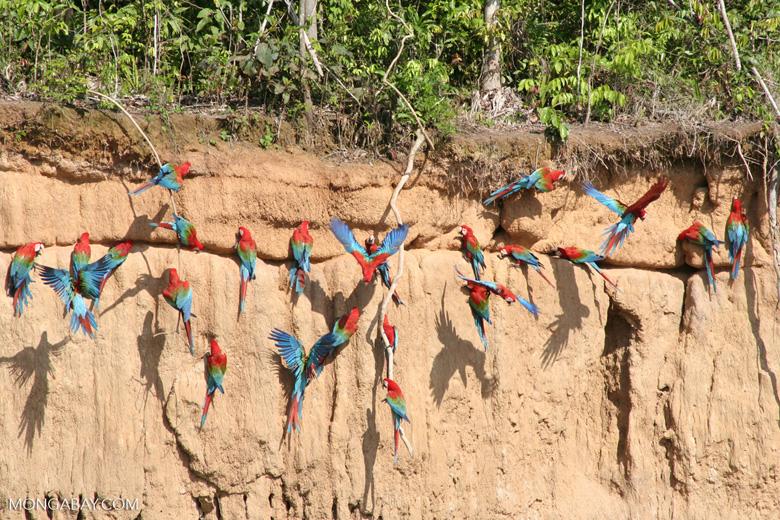 Red-and-green macaws (Ara chloroptera)