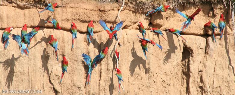 Red-and-green macaws (Ara chloroptera) [manu-Manu_1024_2817a]