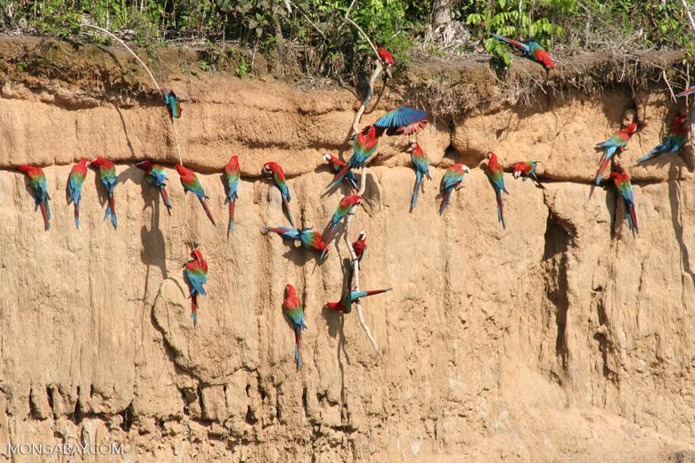 Red-and-green macaws (Ara chloroptera) [manu-Manu_1024_2824]