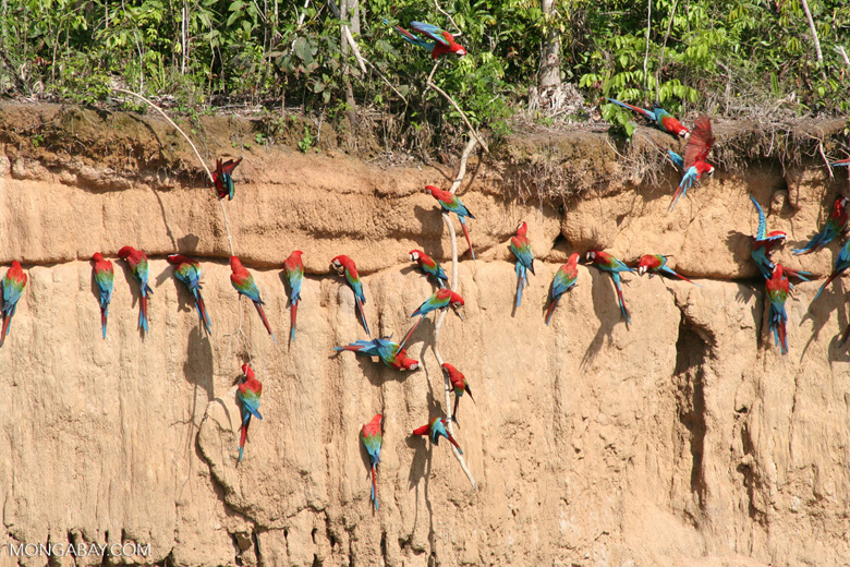 Red-and-green macaws (Ara chloroptera) [manu-Manu_1024_2825]